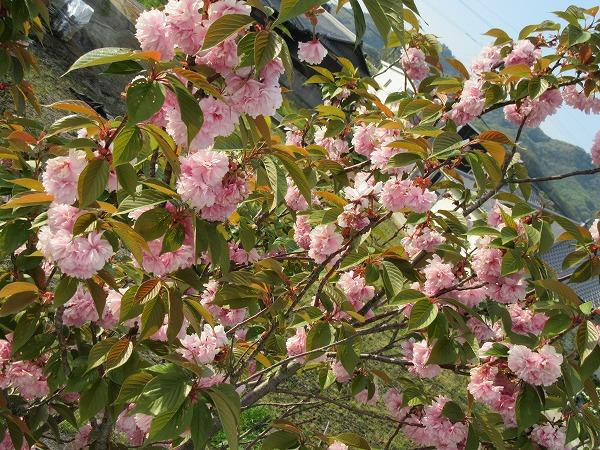 八重桜 満開 27.4.24