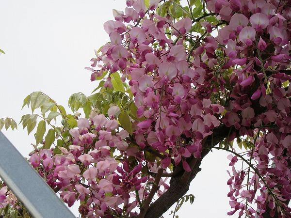 粟島港 桃色藤 27.4.29