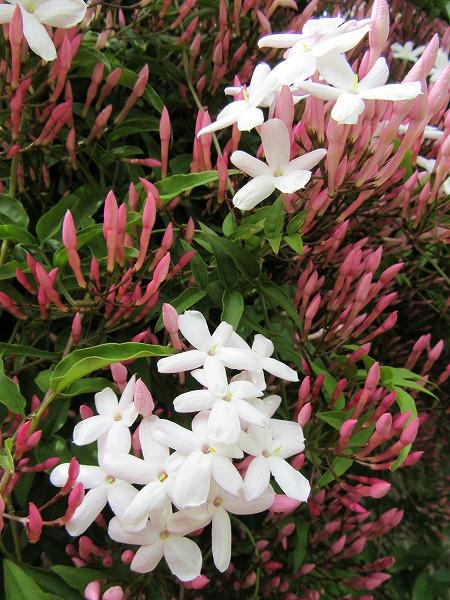 羽衣ジャスミン 縦 白花咲き 27.4.30