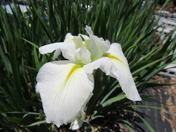 白色花ショウブアップ 27.5.14