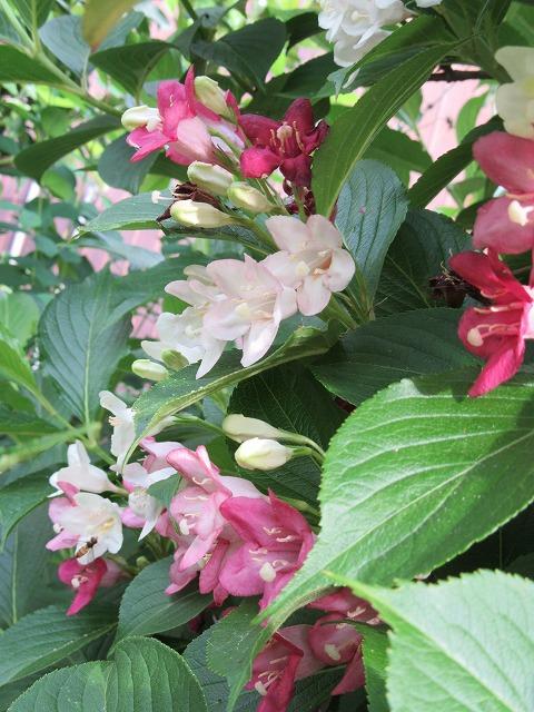 ハコネウツギ咲きました 27.5.16