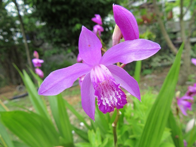紫蘭 咲いていました 27.5.23