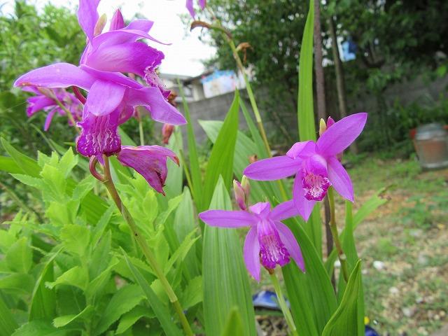 紫蘭の花終わりかけ 27.5.23
