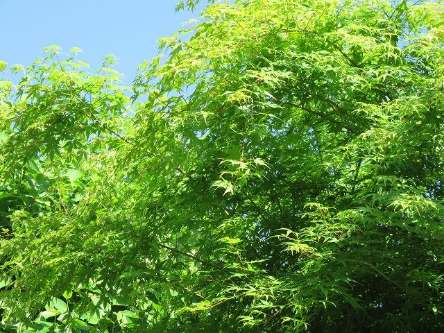 楓の緑にしずくが輝いて 27.5.22