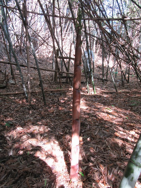 背の高い淡竹も・・・27.5.21