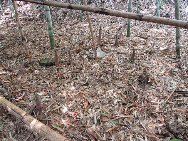普通の筍みたいな淡竹も 27.5.21