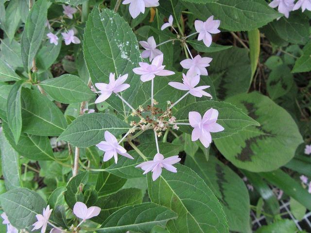 紫陽花珍しいね 27.5.24