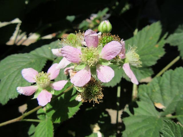 ブラックベリーの花 27.5.27