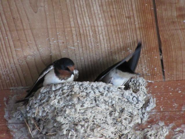 燕さんの巣作り 27.5.27