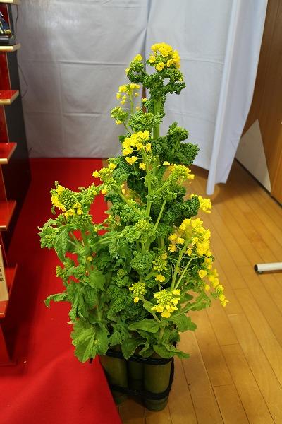 三角邸 菜の花 27.2.28