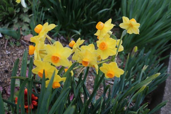 小さい黄色い水仙 27.3.17