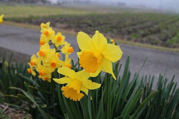 大小黄色い水仙 27.3.17