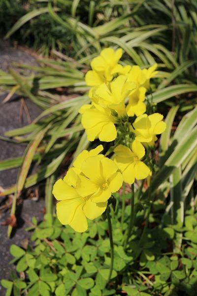 紫カタバミみたいな黄色花 27.3.22