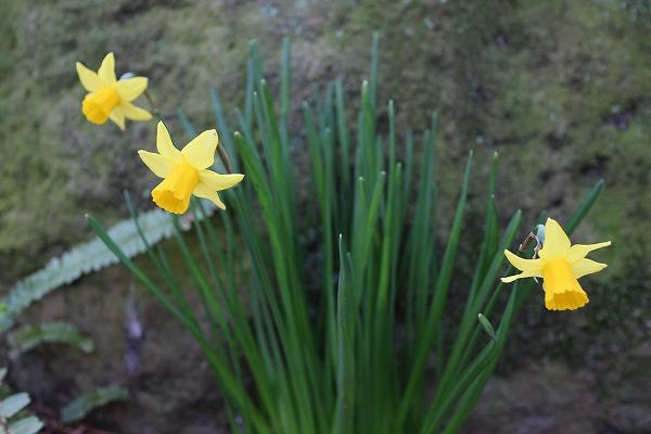 庭の片隅に(小花)水仙黄色 27.3.22