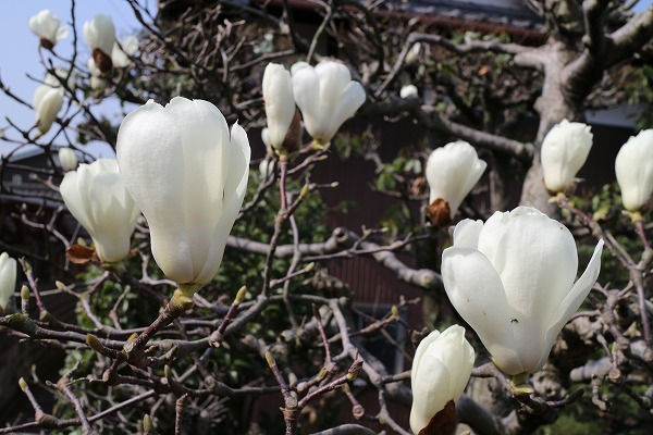 庭の白木蓮 27.3.22