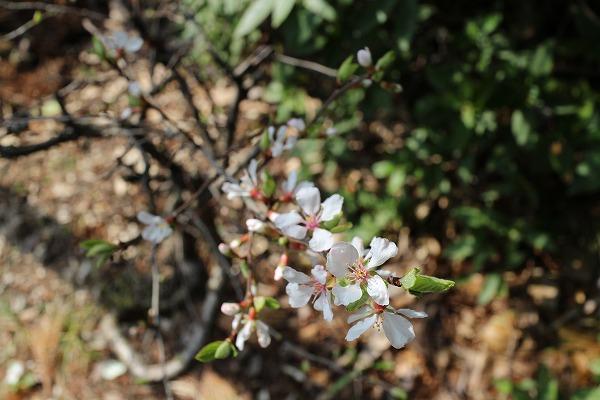 ユスラウメの木にも花が 27.3.22