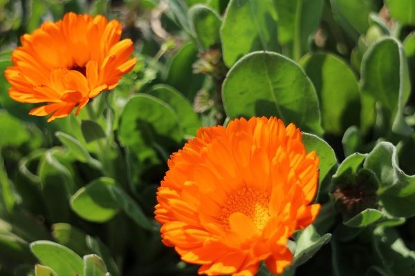キンセンカの花 27.3.26