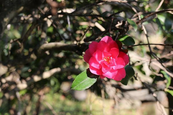 山茶花も、咲いて 27.3.30