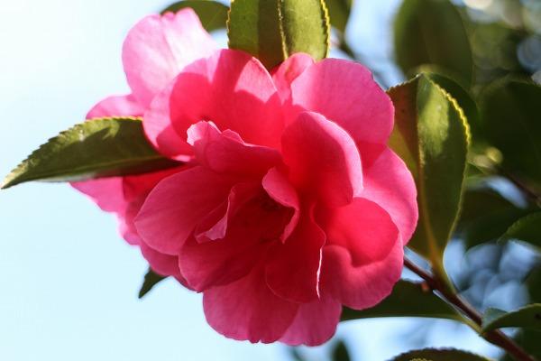 山茶花まだ咲いてる 27.3.30