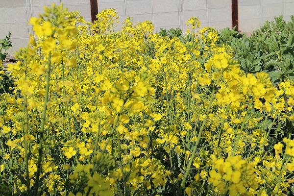 菜の花母の菜園 27.3.27