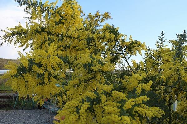 ミモザの木と花 27.3.24