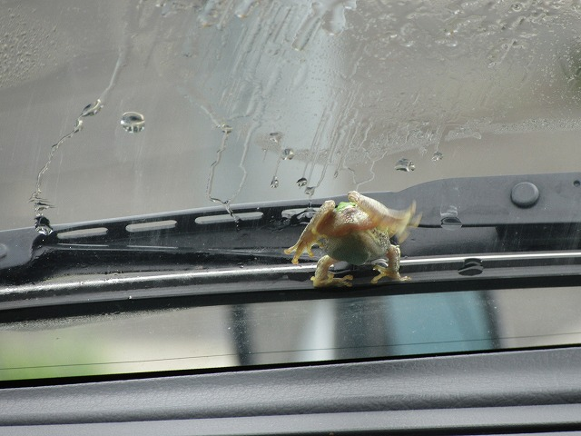 雨蛙飛ばされるよ~ 27.7.19