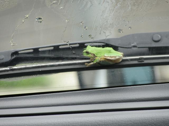 雨蛙 あ~よかった 27.7.19