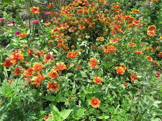 名前知らない花 近くの花壇で 27.7.18