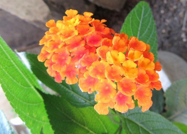 ランタナオレンジ2個 27.7.15