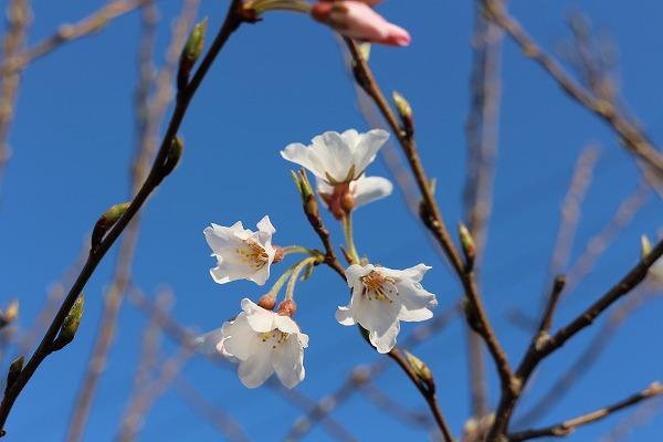 淡墨桜 開花 27.3.24
