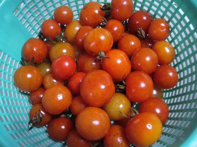 菜園のミニトマト 26.12.21