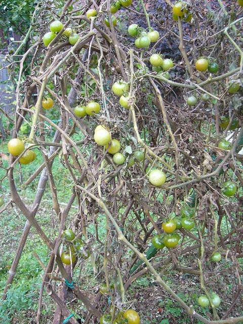 寒さにやられたトマトの木 26.12.21