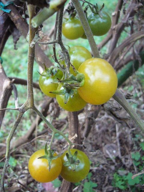青いまま落ちるかなトマト 26.12.21