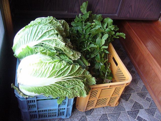 白菜大根が玄関にいっぱい 27.1.4
