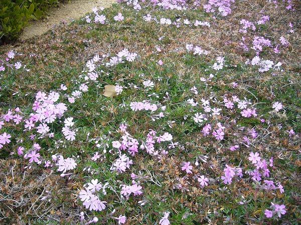 芝桜 4 27.2.10