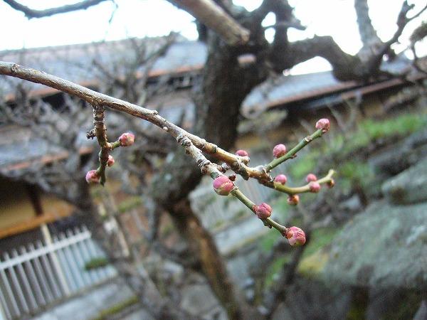白梅 つぼみ 27.1.20