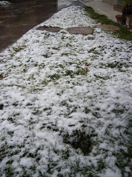 リュウノヒゲに雪 27.1.30