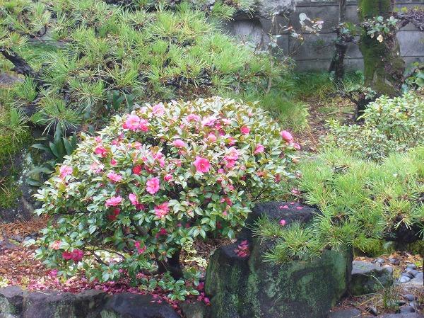 山茶花の花にメジロ 27.1.30