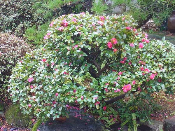 横の山茶花の花にメジロ 27.1.30