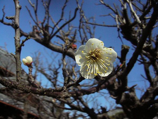 庭の白梅開花 27.2.4