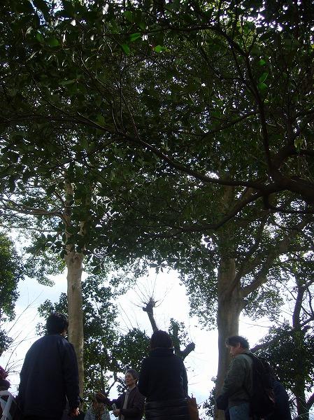 大きな木 クロガネモチかな 27.2.18
