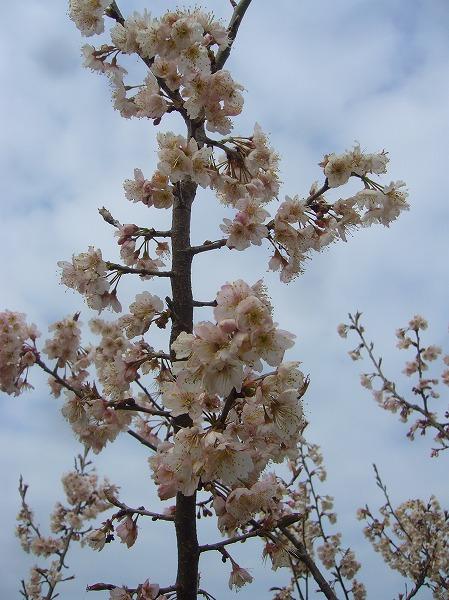さくらんぼの花 縦 27.3.23