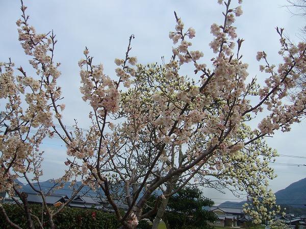さくらんぼの花 27.3.23