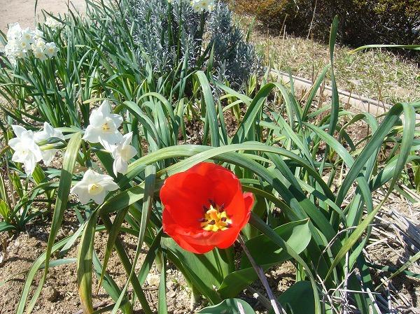 チューリップ咲いて史跡まつり 27.3.28