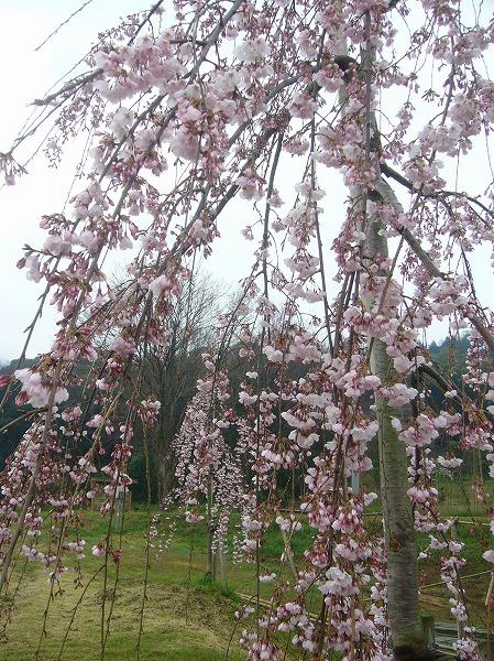 宗吉史跡しだれ桜 27.3.29