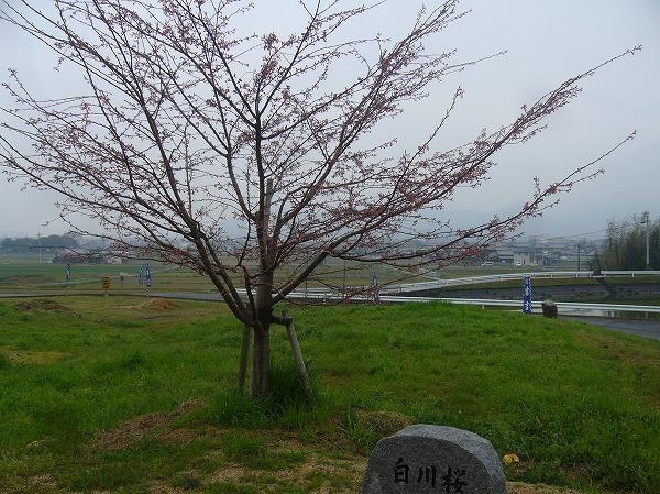 しらかわ桜 27.3.29