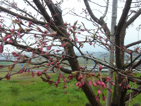 白川桜 1~2部咲 27.3.29