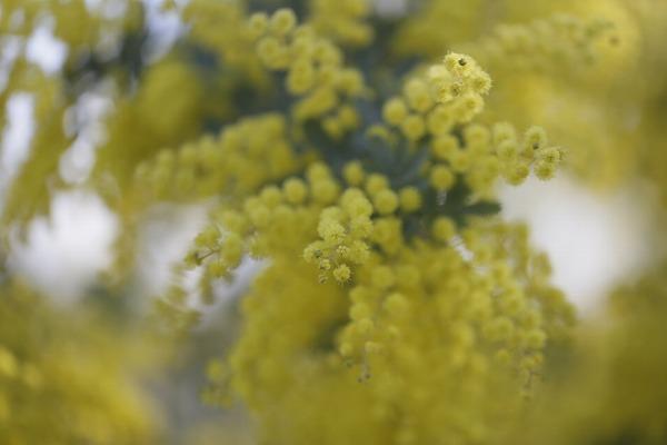 ミモザの花近過ぎ 27.3.24