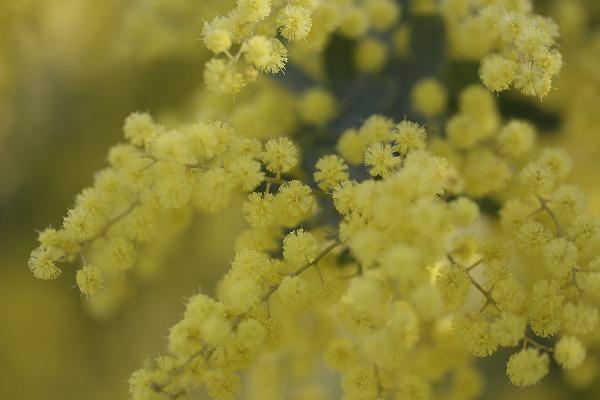 ミモザの花アップ 27.3.24