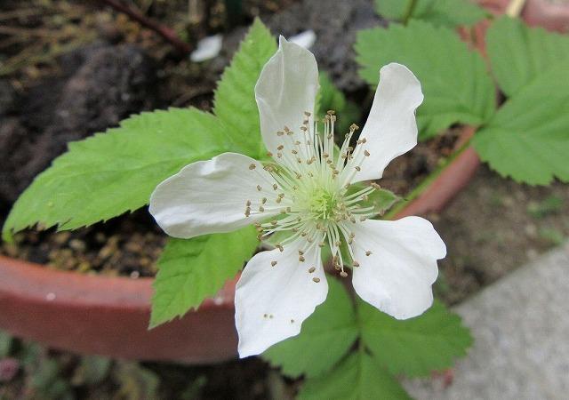 木いちごの花 27.5.21